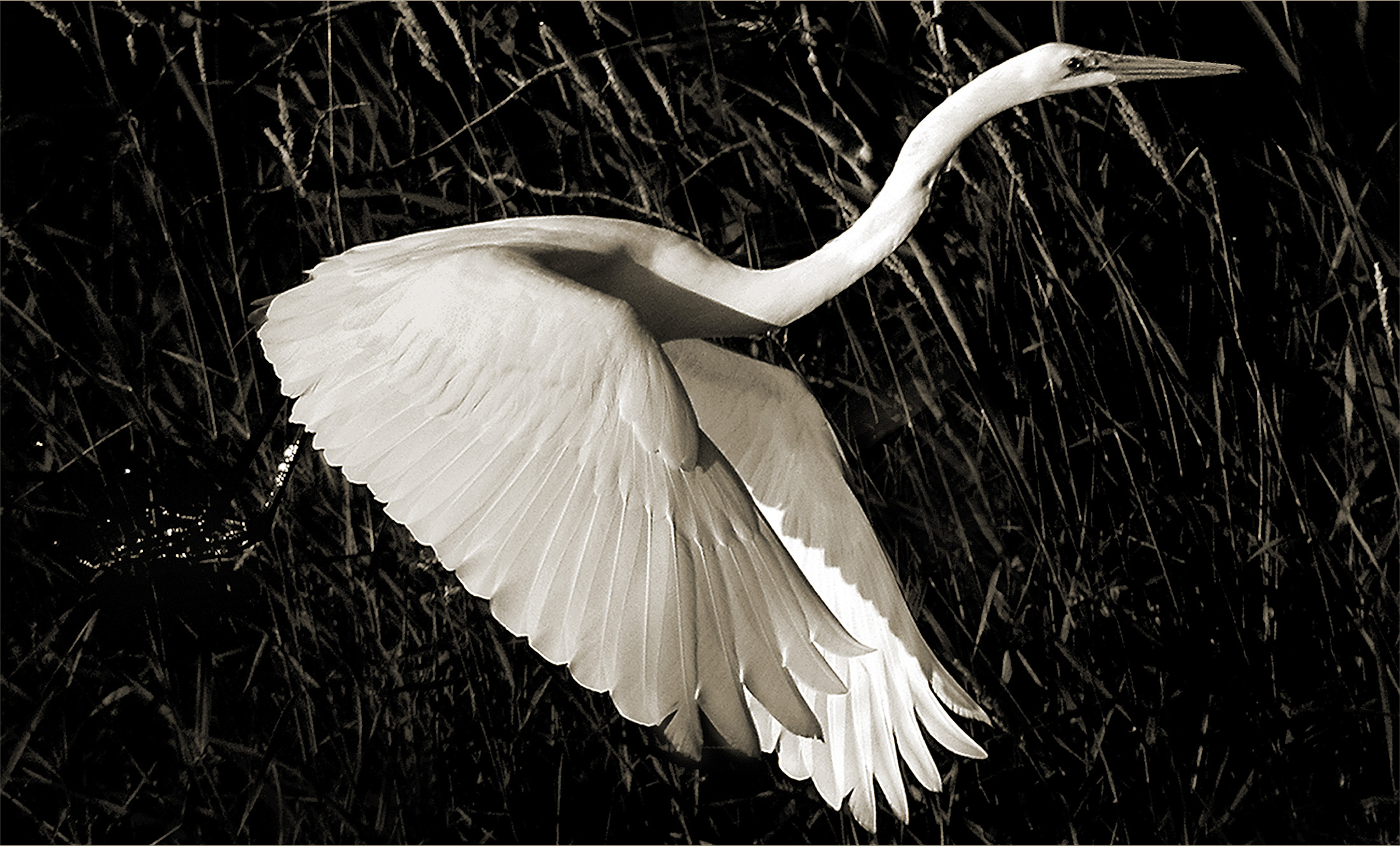 Terry-Turrentine-Egrets-02-MN